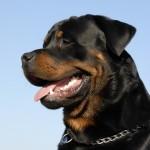 Einer der beliebtesten Hunderassen - der Rottweiler.