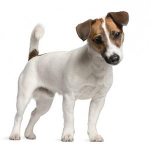 Eine beliebte Hunderasse bei Familien - der Jack-Russell-Terrier.