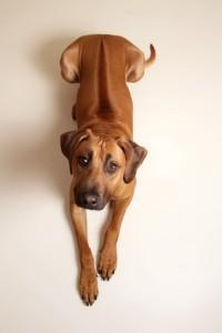 Im Vergleich der Hunderassen von A-Z gilt der Rhodesian Ridgeback als ausgesprochener Laufhund.