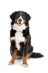 Ein äußerst treuer Zeitgenosse - der Berner Sennenhund.