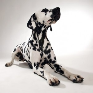Jeder kennt ihn, jeder ihn: der Dalmatiner.