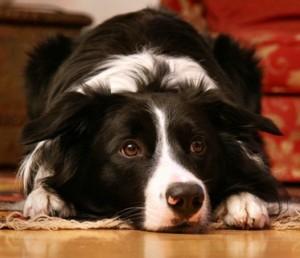 Border Collie, eine beliebte Hunderasse. Doch sind sie auch Familienhunde?