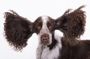 Zur Hundegesundheit gehört auch eine regelmässige Reinigung der Ohren.