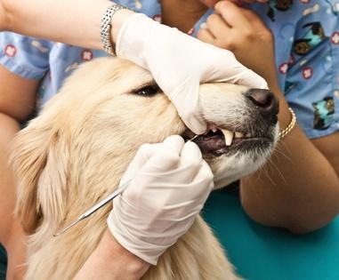 Zahnstein bei Hunden? Gar nicht so selten, wie man annimmt.
