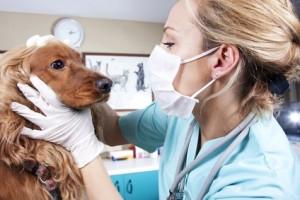 Mit dem richtigen Tierarzt lassen sich Hundekrankheiten schnell heilen.