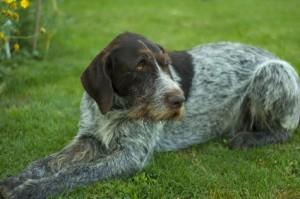 Deutsch Drahthaar sind typische Jagthunde, dennoch auch Familienhunde