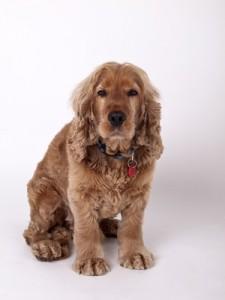 Der Cocker Spaniel gilt unter den Hunderassen von A-Z als äußerst kinderlieb.