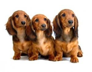 Dackel sind unter den Hunderassen von A-Z urprünglich als Jagtgebrauchshunde gezüchtet worden.